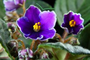 cuidado-de-plantas-violeta-africana